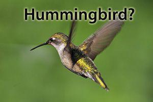 Hummingbird_Google